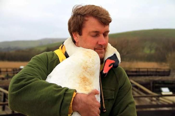 Картинки по запросу Этот прекрасный лебедь обнял человека в благодарность за спасение