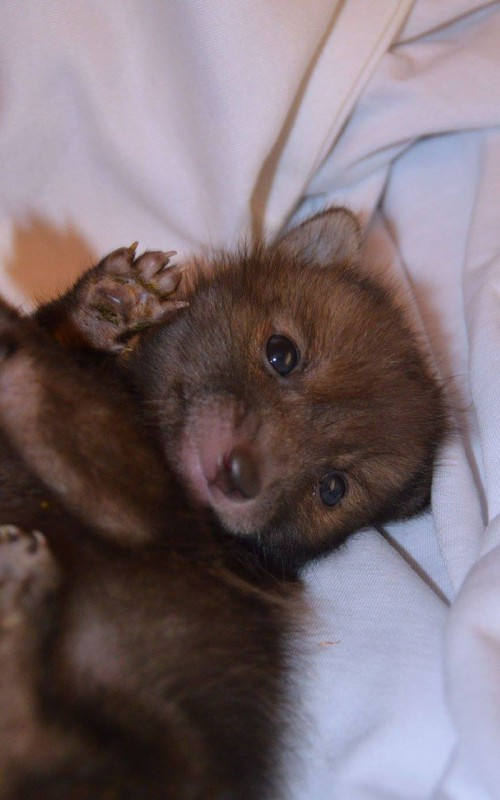 Милота в кубе: спасенный лисенок жить не может без плюшевого кролика