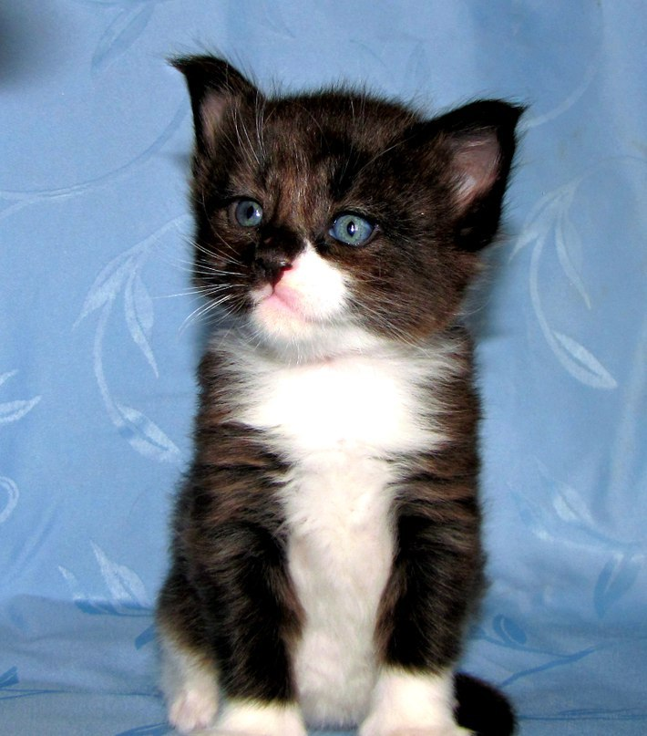 They took a tiny kitten Maine Coon — look what he became!