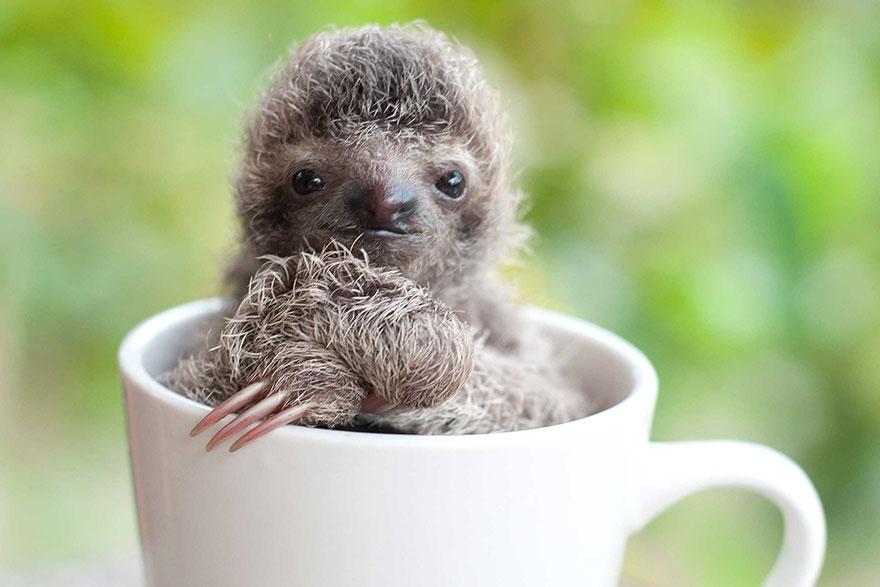 панорамный картинки маленьких ленивцев для любимых деток