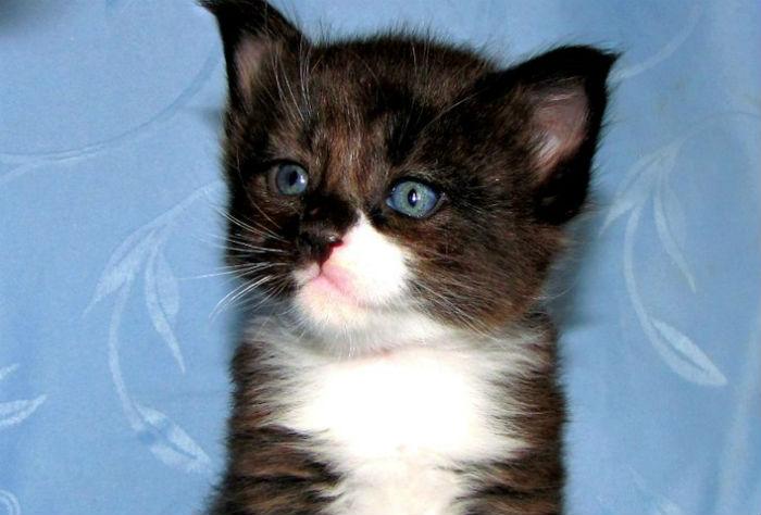 Они взяли крошечного котенка мейн-куна — полюбуйтесь, каким он стал через год! фото