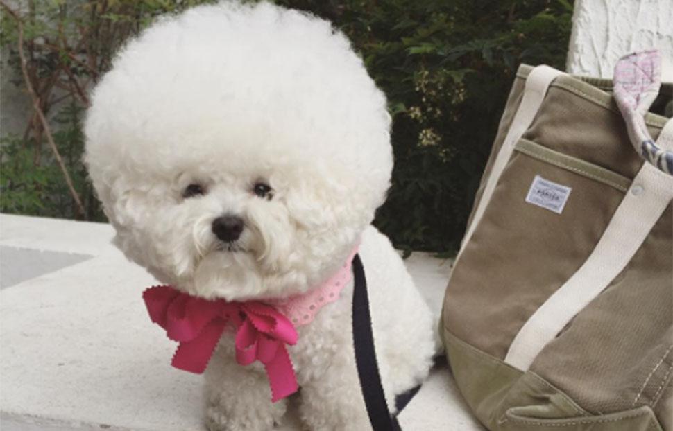 Шарик радости: собачка Тори породы бишон фризе — новая звезда Instagram