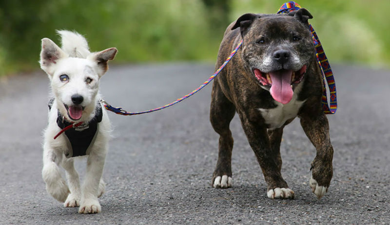 blind-dog-guide-best-friends-abandoned-rescued-stray-aid-shelter-glenn-buzz-12