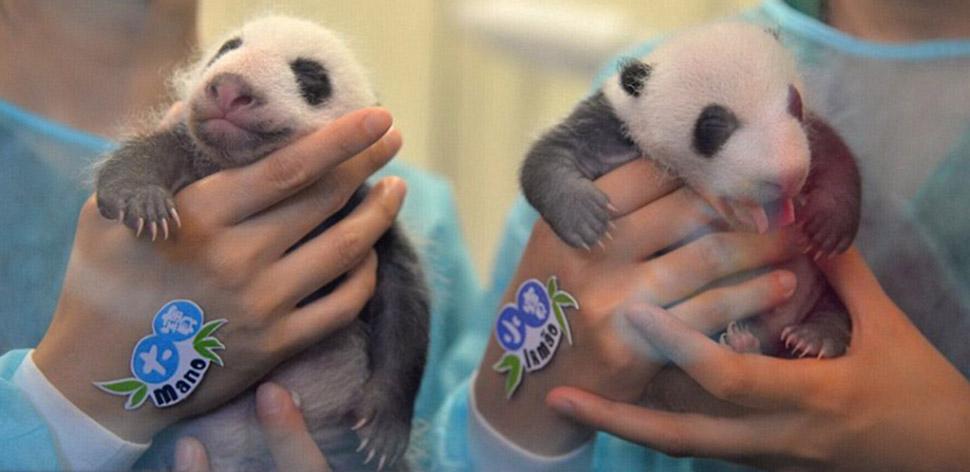 Маленьких панд-близнецов впервые показали публике в Макао