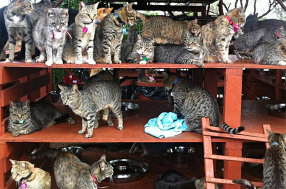 В кошачьем заповеднике на Гавайях можно погладить до 500 котиков
