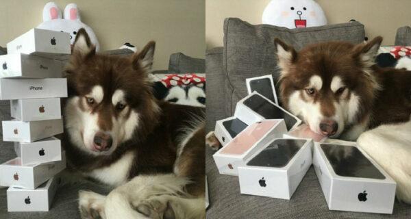 Сын богатейшего китайца купил своей собаке восемь iPhone 7: спрашивается, на койляд?
