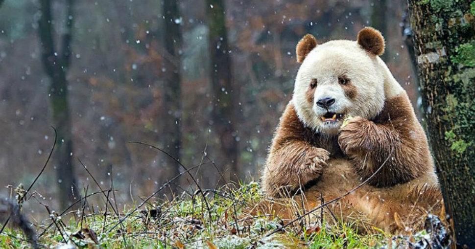 abandoned-brown-panda-head