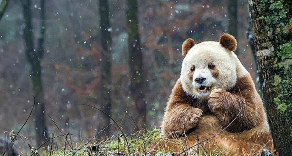 Единственная в мире коричневая панда, которую бросила мама, наконец-то нашла свое счастье