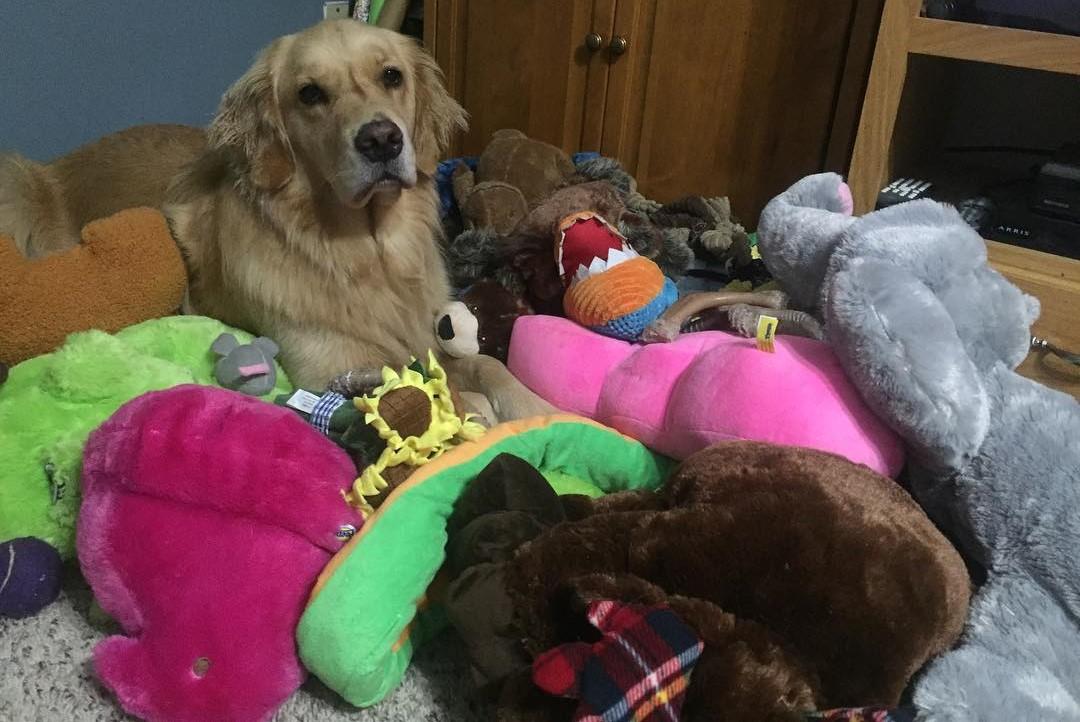 Собака-терапевт каждый вечер приносит в кровать разные игрушки