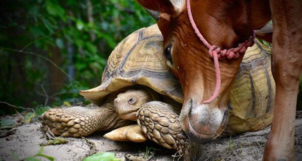Необычная дружба между гигантской черепахой и трехногим теленком