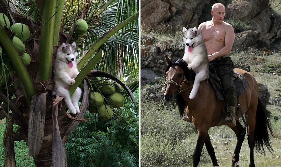 Щенок хаски застрял на пальме, и интернет решил помочь фотожабами