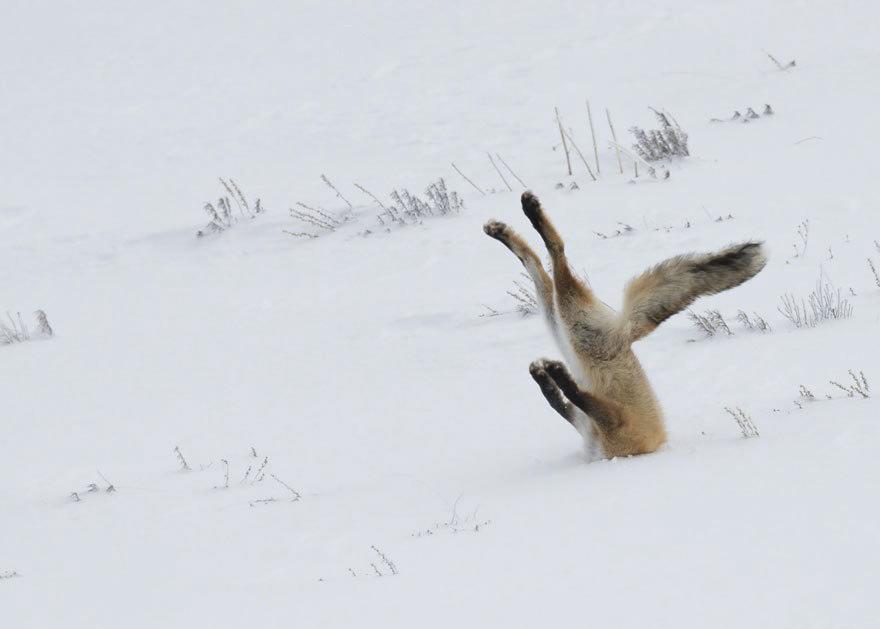 18 фотографий невозможно милых лис