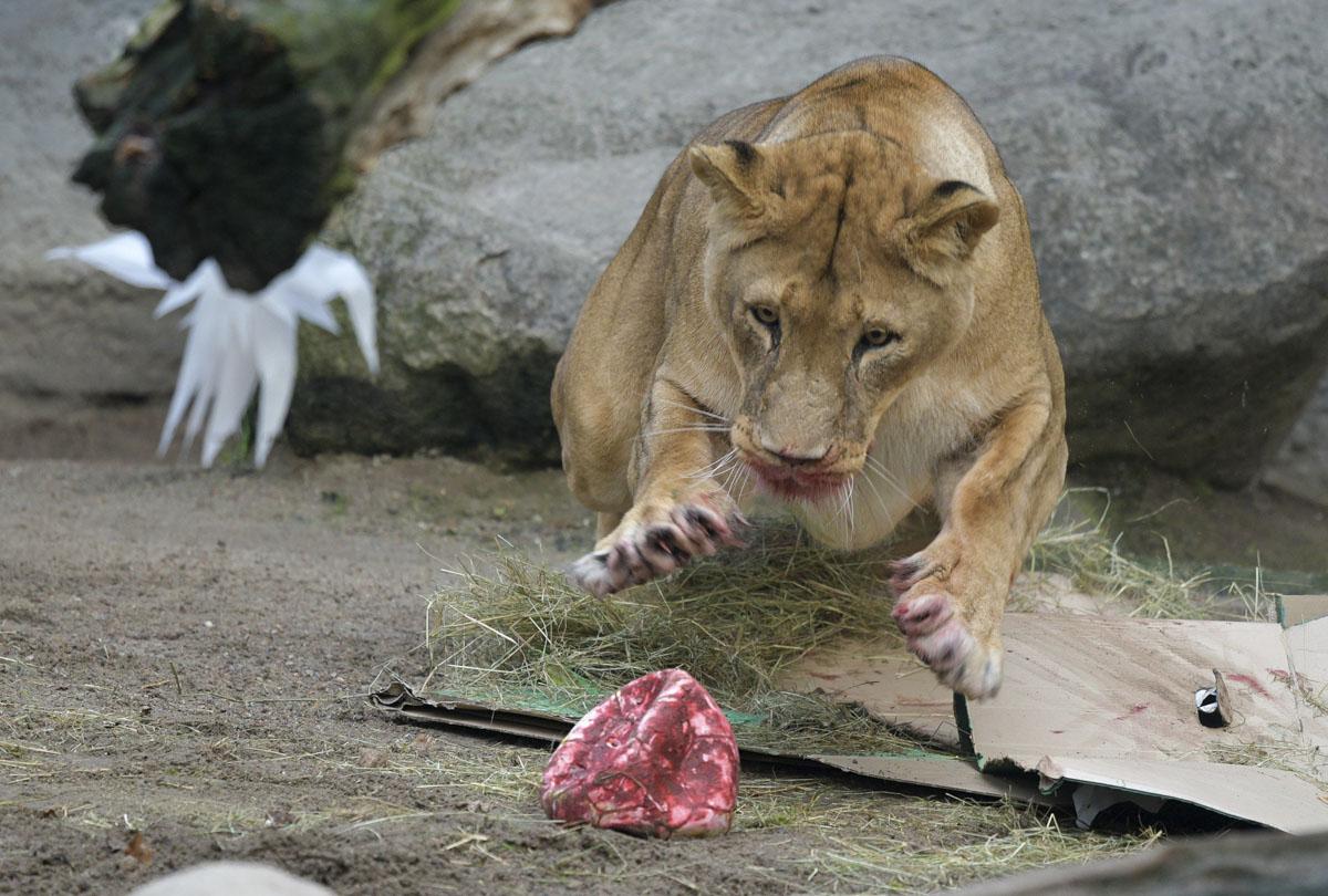 тигр ждет фото