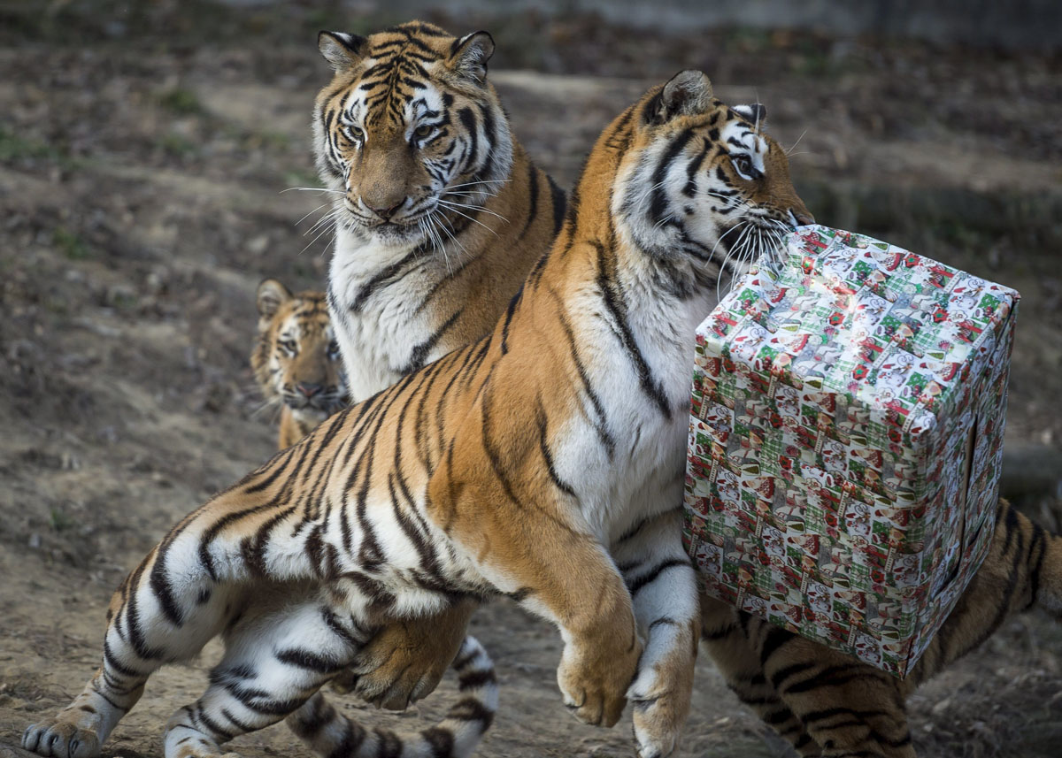 Merry Christmas, Mr. Tiger! The inhabitants of zoos opened gifts