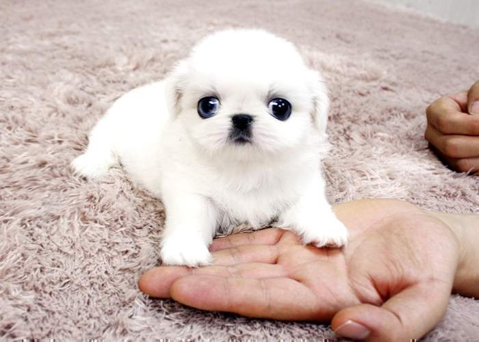 Gorgeous-Teacup-ice-white-pekingese-puppy-available-50b77529a61551929d66