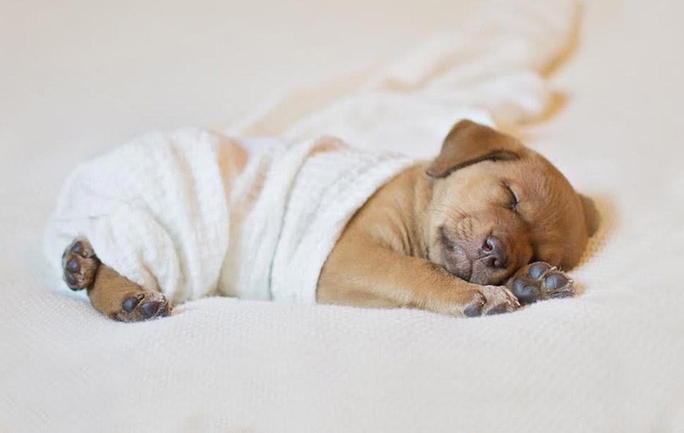 Фотосессия новорожденного щенка, которая расплавит ваш мимиметр