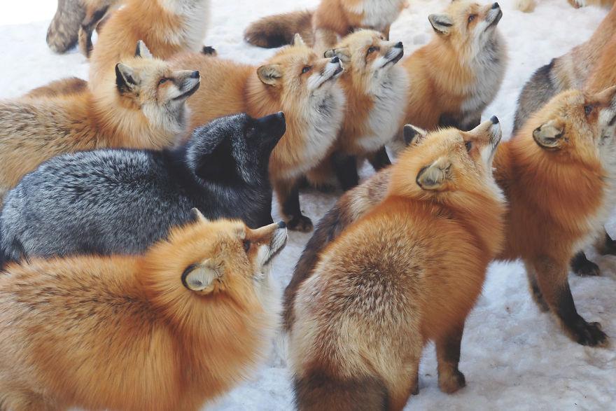 Вокруг мех: в японской деревне живет больше сотни лис