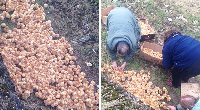 Кто-то вывез 1000 цыплят в поле и оставил их там умирать