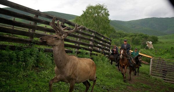 Как молодым оленям срезают рога, чтобы добыть пантокрин