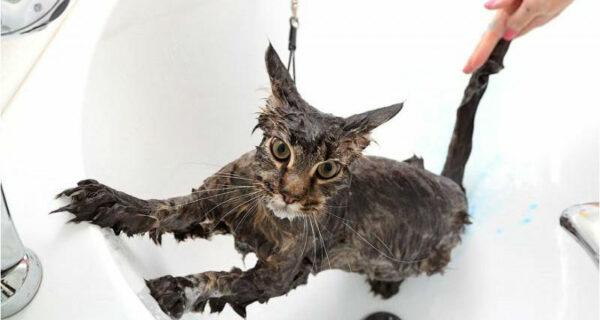 Как помыть кошку и остаться вживых