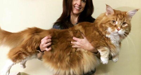 Пара купила крохотного котенка, а он вырос в самого длинного кота вмире