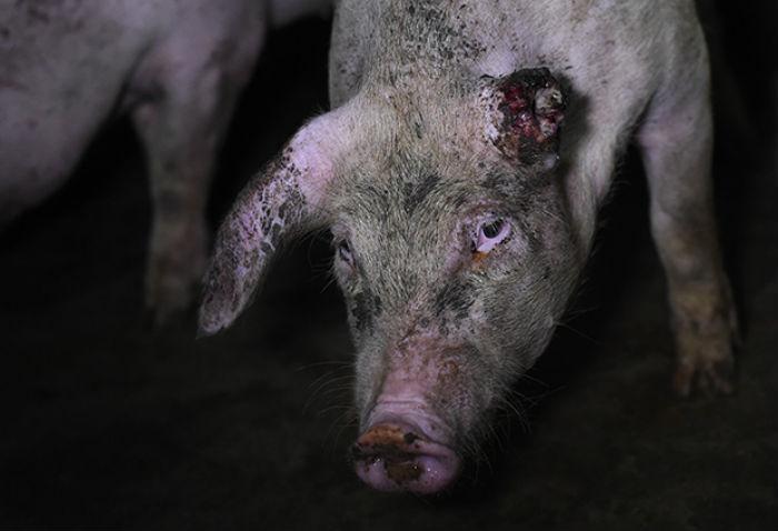 Жуткий фотопроект о жизни свиней на фермах
