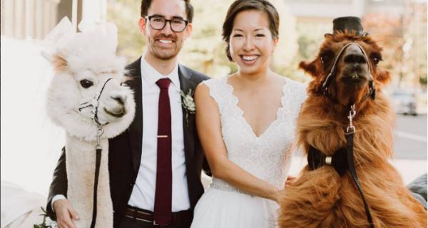 Вместо людей на свадьбу теперь можно пригласить ламу в галстуке-бабочке