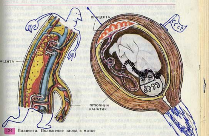 placenta