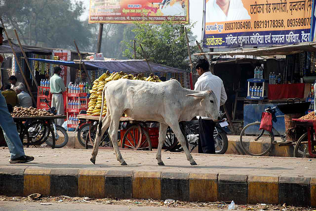 Holy hobo: how a stray cow become a problem in India