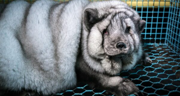 Полный песец: финские фермеры раскармливают животных до огромных размеров