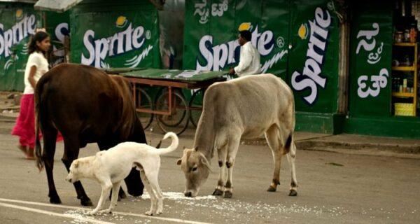 Священные бродяги: как бездомные коровы стали проблемой вИндии