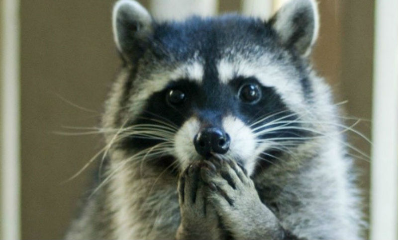 racoons99