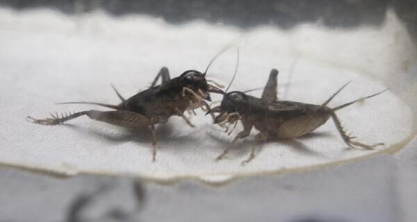 Сверчки на вес золота: жители китайского города зарабатывают тысячи долларов на насекомых