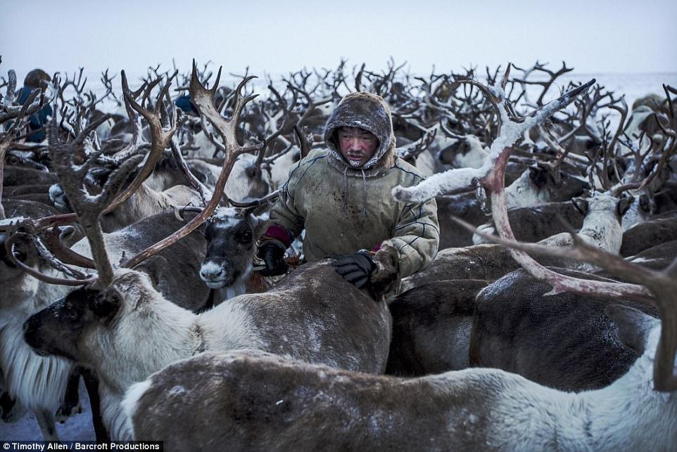Жизнь в морозильнике: вышел фильм BBC о миграции ненецких оленеводов