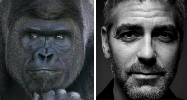 Горилла с лицом Джорджа Клуни покорила наши сердца