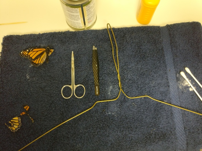 American fashion designer spent the transplantation of live butterfly wing