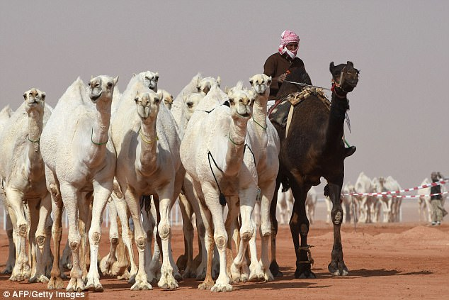 Twelve camels was disqualified from the beauty contest because of the Botox