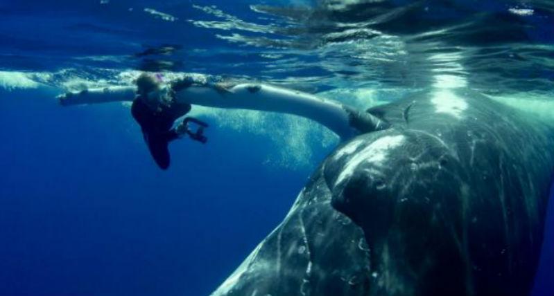22-тонный кит спас дайвершу от акулы, спрятав её под плавником