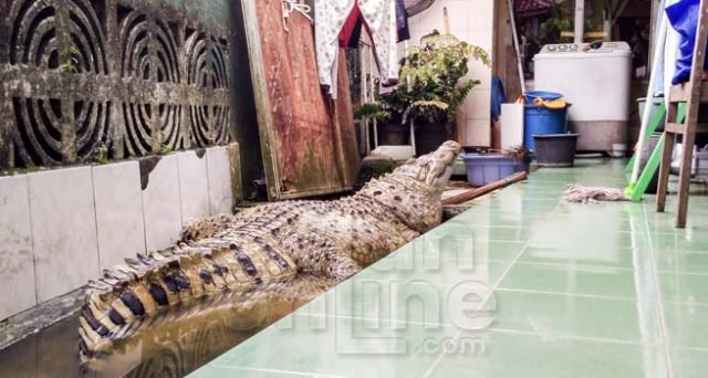 Home crocodile: an Indonesian family lives 20 years the 200-pound reptile