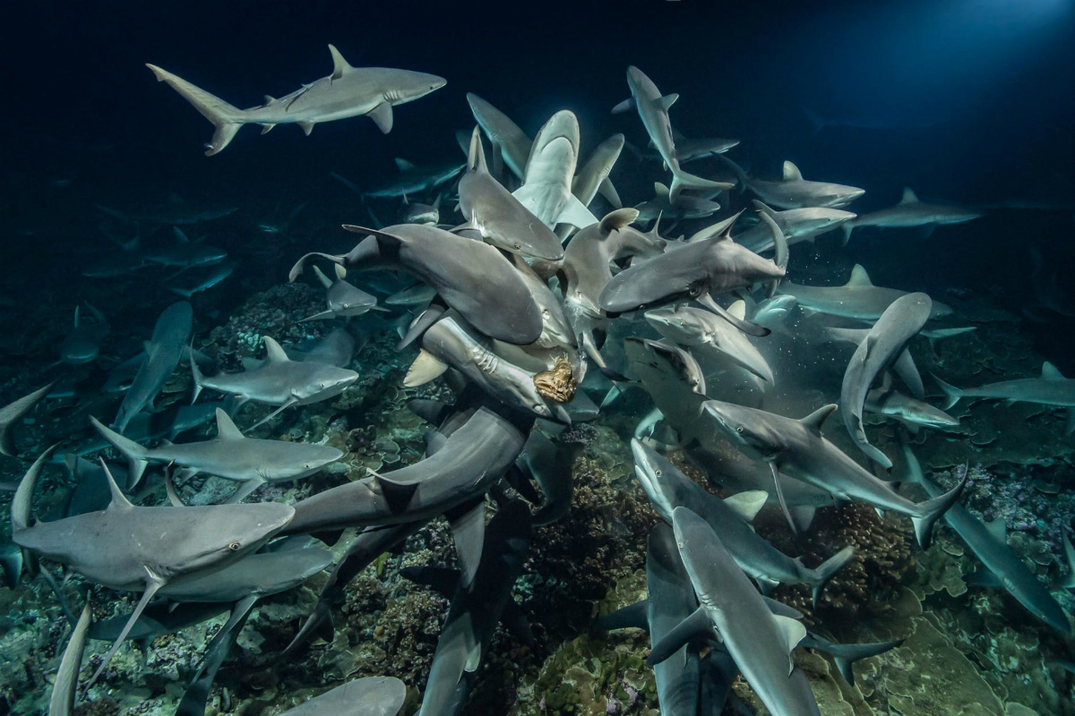 фото много акул видеокамеры сожалению только