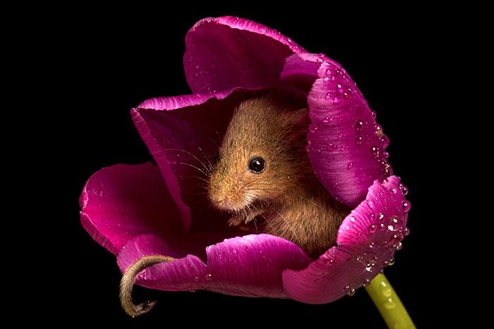 мышки-малютки