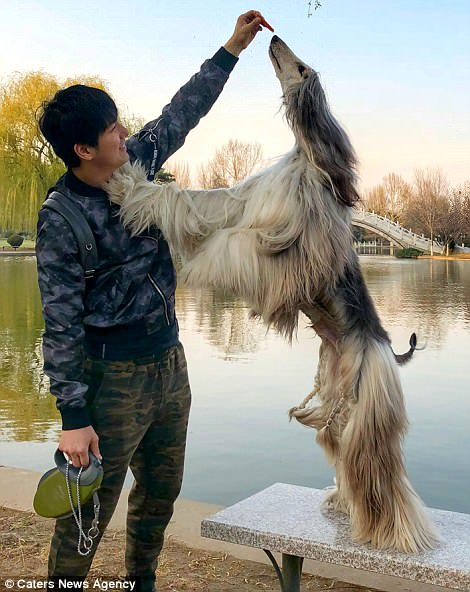 When the dog hair better than yours: Chinese spend thousands of dollars on grooming pet