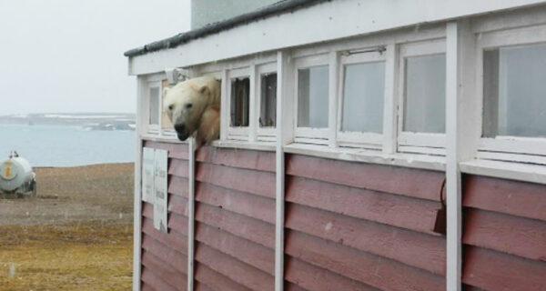 «Я не застрял, я просто отдыхаю»: на Шпицбергене медведь вломился на склад и не смог выбраться