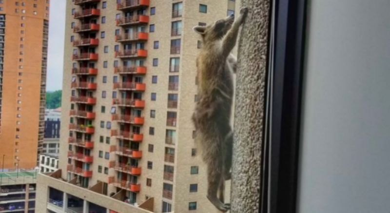В соцсетях устроили реалити с участием карабкающегося двое суток на небоскреб енота
