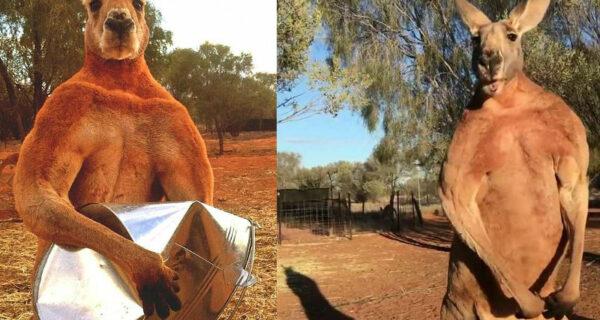 «Проваливай с моей территории»: кенгуру-бодибилдер ростом под два метра удивил Instagram