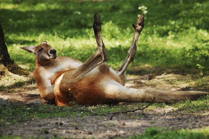 «Черепахи очень громко спариваются. Очень» и другие откровения работницы зоопарка о животных кенгуру, могут, животных, самом, медведей, зоопарке, другой, двигать, самки, голос, бурых, посетителям, полярных, друга, рассказывать, узнать, Гризли, гризли, очень, малышей