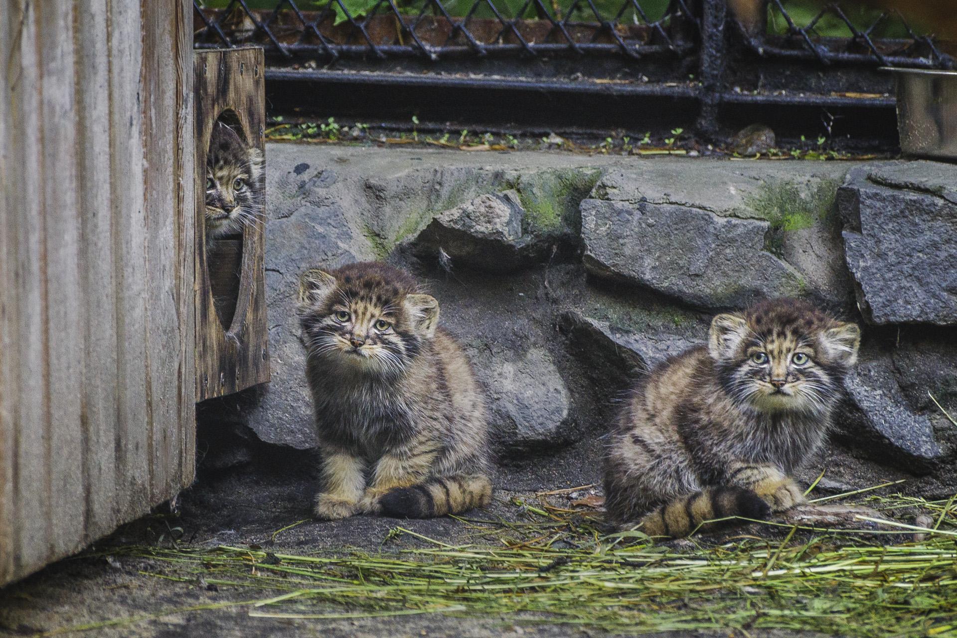 Удивительная история манулов из Новосибирска — хищников, которых выкормила домашняя кошка манулов, Новосибирска, котят, зоопарка, зоопарке, семейство, малышей, кошка, часов, период, хищников, сразу, родила, несколько, всего, младенчества, сейчас, рассказывают, очень, которые