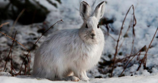 Заяц-беляк зимой