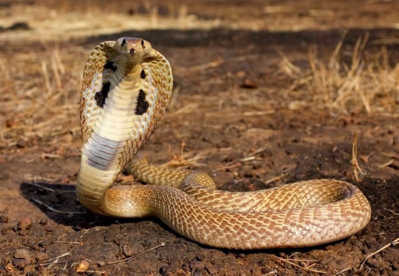 Deadly funny: the frightened Cobra and died