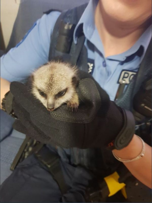 Too cool! The guy stole the baby meerkat from the zoo, not resist his charm